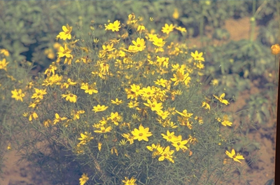 Meisjesogen - Coreopsis verticillata 'Zagreb'