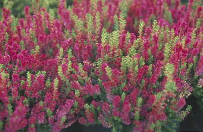 Struikhei - Calluna vulgaris 'Dark Beauty'