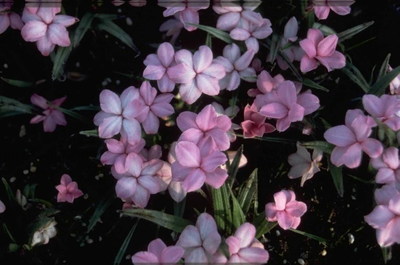 Rhodohypoxis baurii 'Fred Broome'