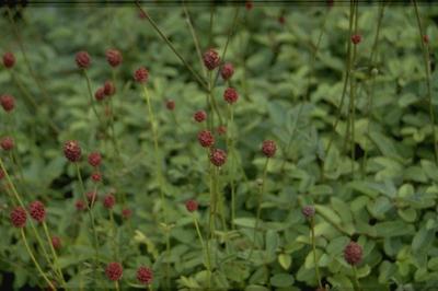 Grote pimpernel - Sanguisorba officinalis 'Tanna'