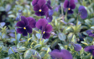 Viooltje - Viola 'Lord Nelson'