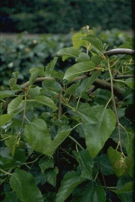 Moerbei - Morus alba 'Pendula'