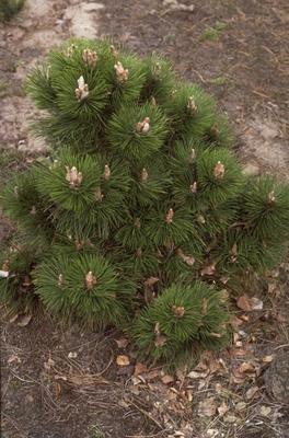 Zwarte den - Pinus nigra 'Helga'