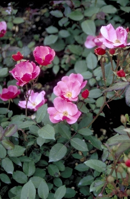 Trosroos - Rosa 'Betty Prior'