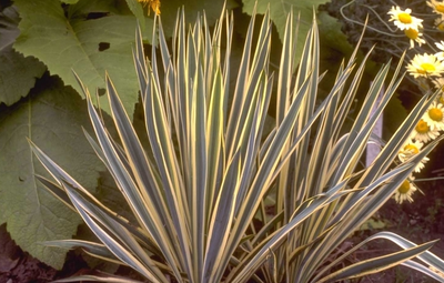 Palmlelie - Yucca filamentosa 'Bright Edge'