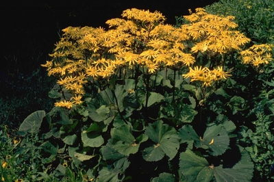 Kruiskruid - Ligularia dentata 'Othello'