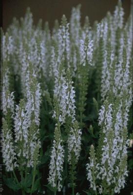 Salie - Salvia x sylvestris 'Schneehügel'