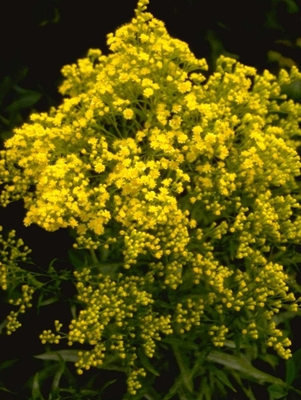 x Solidaster luteus 'Lemore'