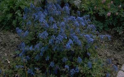 Helmbloem - Corydalis flexuosa