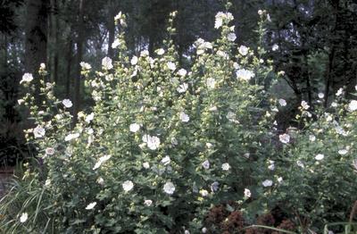 Struikmalva - Lavatera 'White Satin'