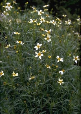 Tandzaad - Bidens heterophylla