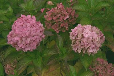 Hortensia - Hydrangea macrophylla 'Taube'
