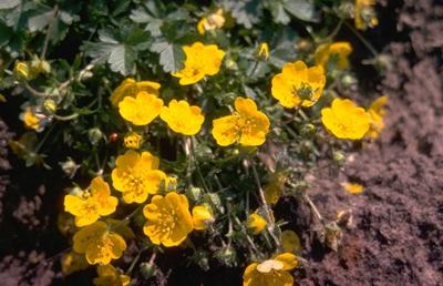 Potentilla crantzii 'Goldrausch'