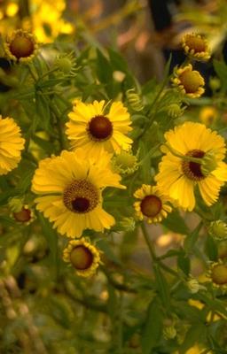 Zonnekruid - Helenium 'Goldrausch'