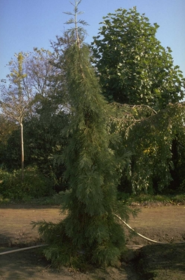 Zuilcipres - Calocedrus decurrens 'Aureovariegata'