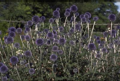 Kogeldistel - Echinops ritro 'Veitch's Blue'