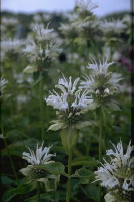 Bergamotplant - Monarda 'Sioux'