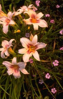 Daglelie - Hemerocallis 'Pink Charm'