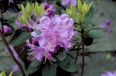 Rododendron - Rhododendron dauricum