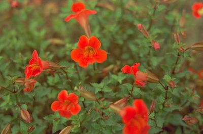 Mimulus 'Bees' Scarlet'