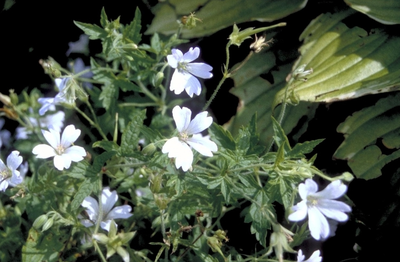 Ooievaarsbek - Geranium 'Mary Mottram'