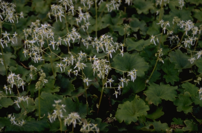 Saxifraga cortusifolia 'Maigr?n'