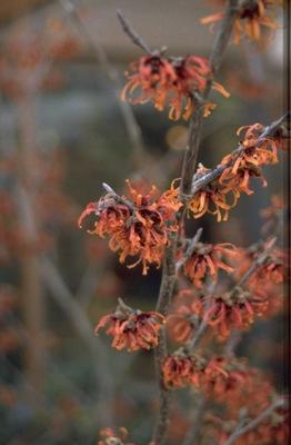 Toverhazelaar - Hamamelis x intermedia 'Diane'