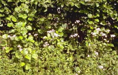 Echte valeriaan - Valeriana officinalis 'Alba'