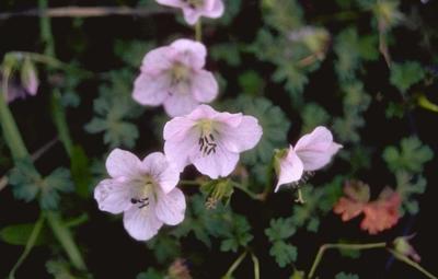 Ooievaarsbek - Geranium farreri