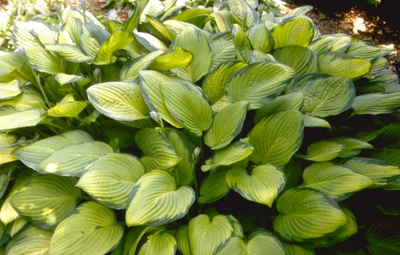 Hartlelie - Hosta 'Gold Standard'