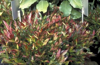 Druifheide - Leucothoë axillaris 'Red Lips'