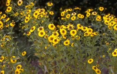 Zonnekruid - Helenium autumnale