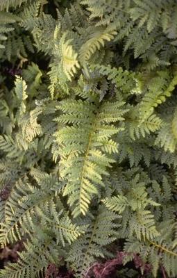 Brede Eikvaren - Polypodium interjectum 'Cornubiense'