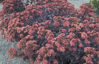 Vetkruid - Sedum 'Purple Emperor'