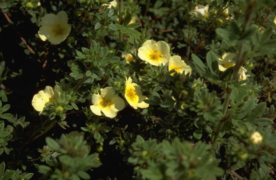 Heesterganzerik - Potentilla fruticosa 'Primrose Beauty'