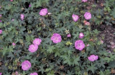 Bloedooievaarsbek - Geranium sanguineum 'Inverness'