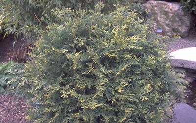 Hibacipres - Thujopsis dolabrata