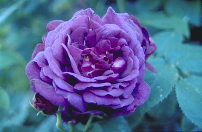 Engelse roos - Rosa 'Chianti'
