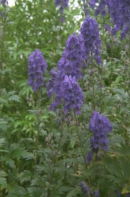 Azuren monnikskap - Aconitum carmichaelii 'Arendsii'