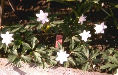 Bosanemoon - Anemone nemorosa 'Bracteata Pleniflora'