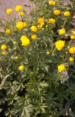 Trollius 'Orange Crest'