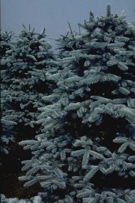 Echte kerstboom - Blauwspar - Picea pungens f. glauca