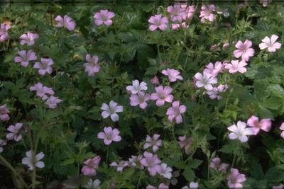 Ooievaarsbek - Geranium x oxonianum 'Rose Clair'