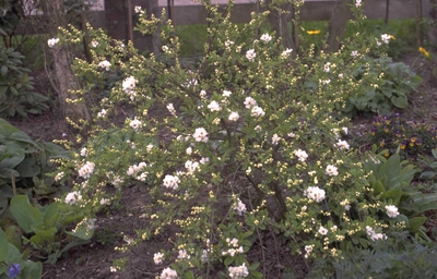 Parelstruik - Exochorda x macrantha 'The Bride'