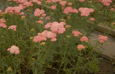 Gewoon duizendblad - Achillea millefolium 'Wesersandstein'