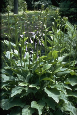 Hartlelie - Hosta 'Tall Boy'