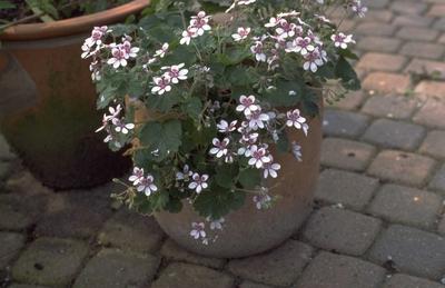 Reigersbek - Erodium hymenodes