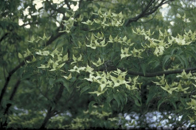 Hydrangea macrophylla 'Nanping'