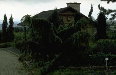 Jeneverbes - Juniperus communis 'Horstmann'