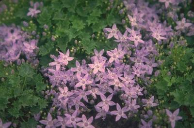 Campanula garganica 'Erinus Major'